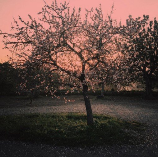 Almond almond tree by Tanja Ting